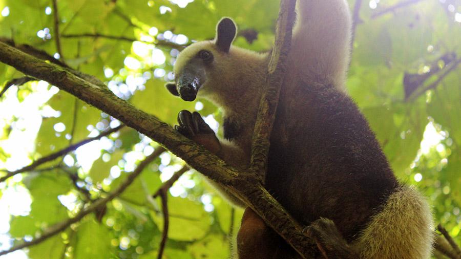 Costa Rica's coolest creatures - anteater