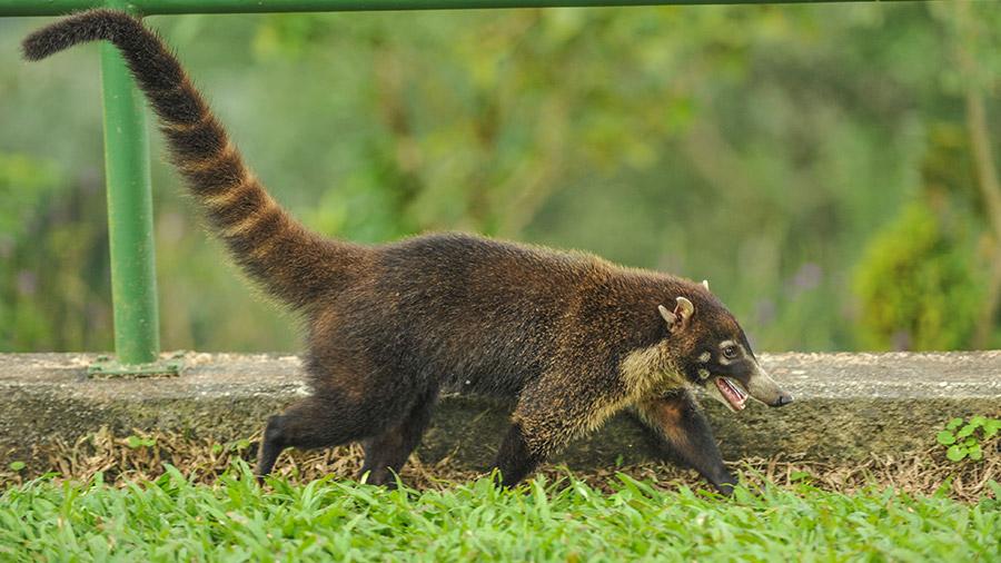 Costa Rica's coolest creatures - coatimundi