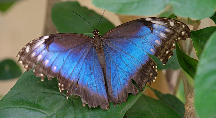 Costa Rica's coolest creatures - giant blue morpho butterfly