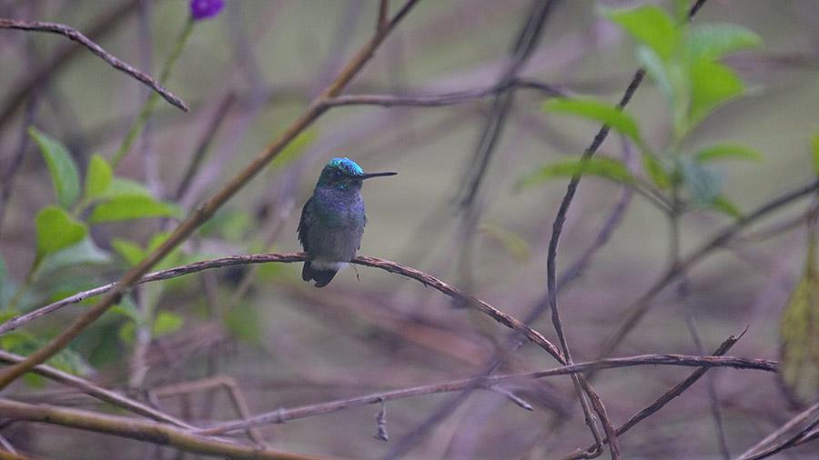 Costa Rica's coolest creatures - hummingbird
