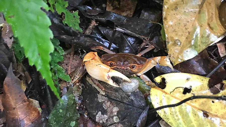 Costa Rica's coolest creatures - land crab