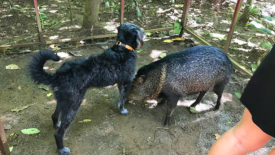 Costa Rica's coolest creatures - peccary and dog