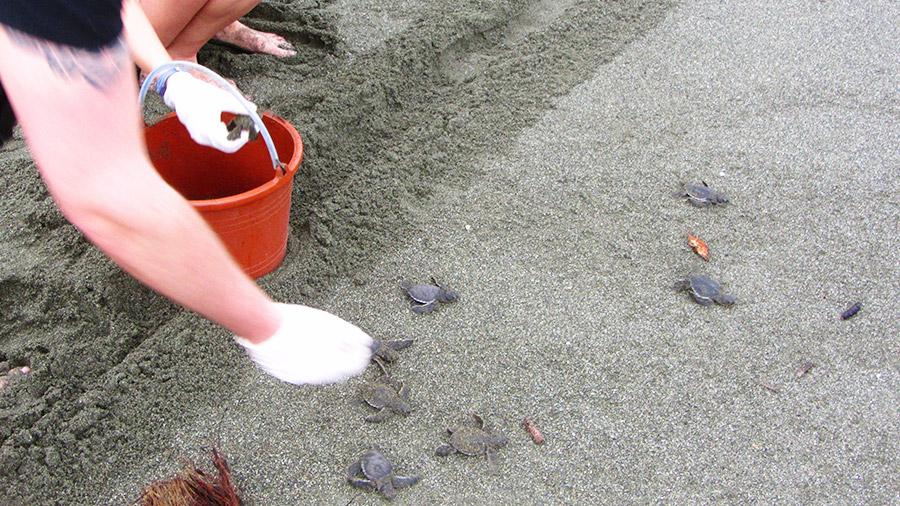 Costa Rica's coolest creatures - releasing baby green sea turtles