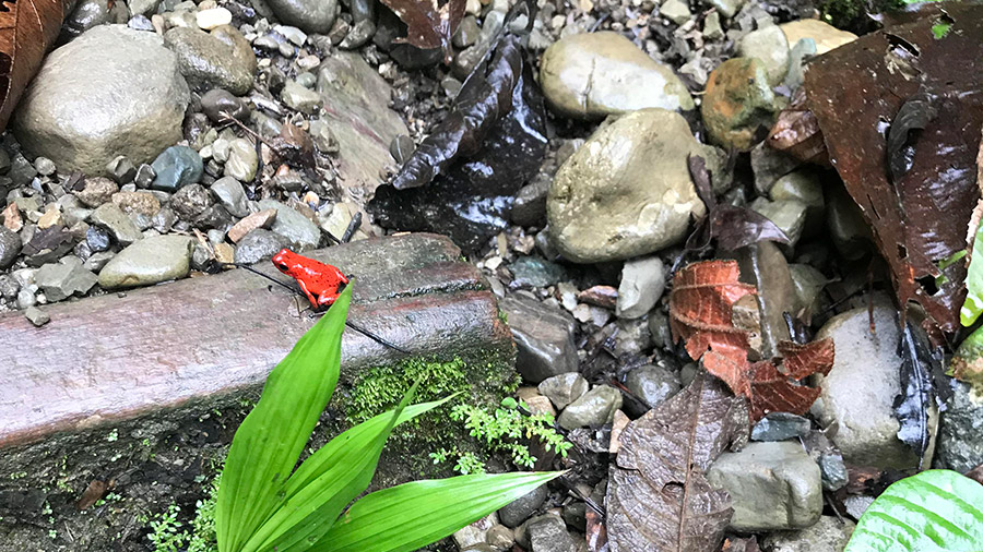 Costa Rica's coolest creatures - strawberry poison dart frog