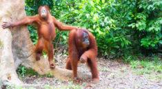 Orangutans, big friendly giants