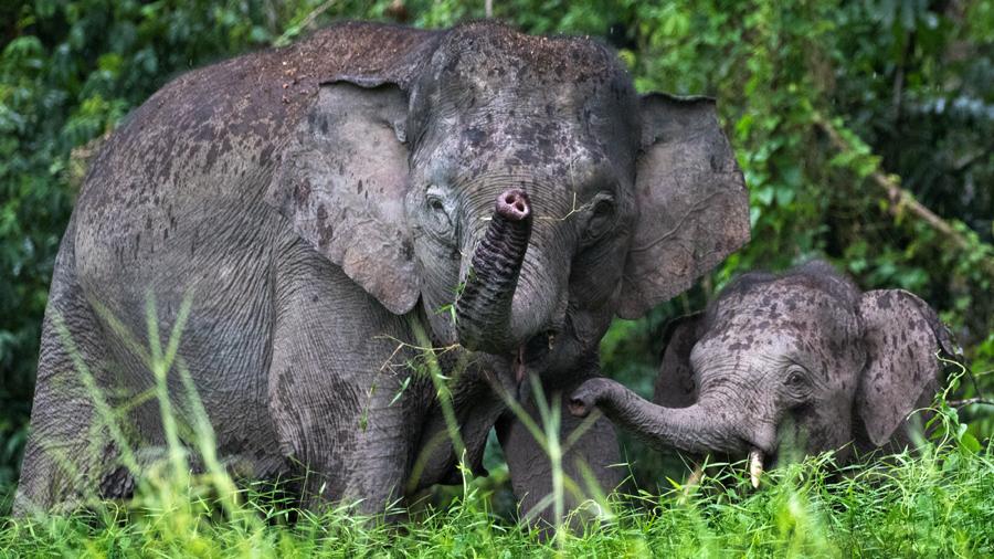 Pygmy elephants in Malaysia