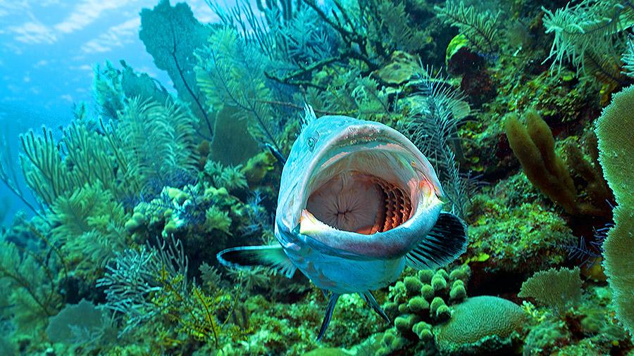 Seven underwater wonders of the Caribbean - goliath grouper, Cuba