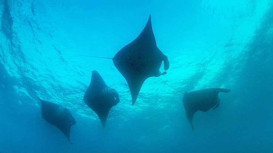 Seven underwater wonders of the Caribbean - manta rays, Tobago