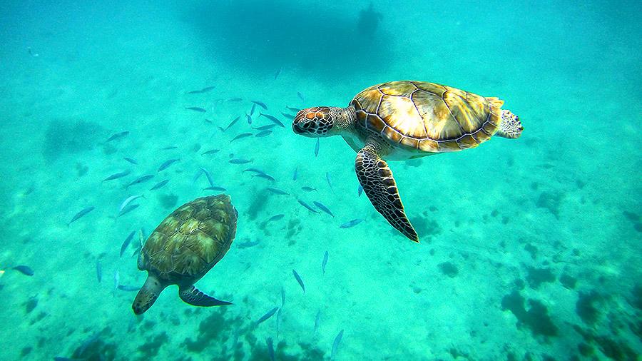Seven underwater wonders of the Caribbean - turtles in Antigua